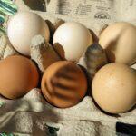 Freilaufende Eier