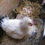 Ein brütendes Huhn