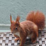 Das Eichhörnchen auf dem Balkon
